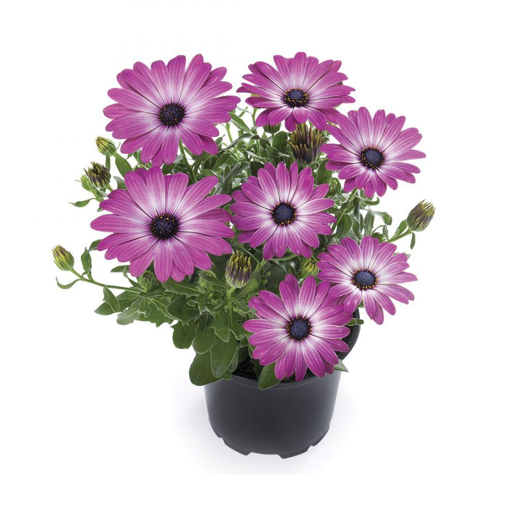 Sunny Violet Halo®